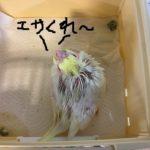 オカメインコ・文鳥・セキセイのヒナ入荷!!