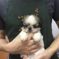 小さいシーズーとお店の子犬&子猫!!