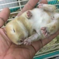 豆柴・デグー・チンチラ・モルモット・ドワーフラビット・他