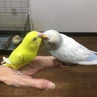 現在(4月13日)お店にいる手乗り鳥!その1