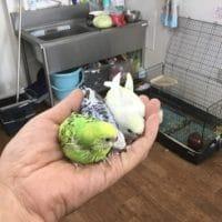 白文鳥と桜文鳥とセキセイインコ