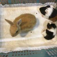 ミニウサギが来た!(ついでにモルモットも・・。)