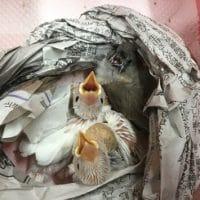 オカメインコ・セキセイインコ・白文鳥・キンカチョウのヒナ