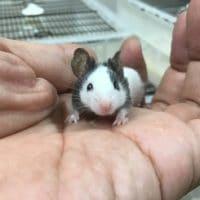 パンダマウスの赤ちゃん!