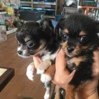 子犬と遊ぼう!(チワワ&ミックス犬)