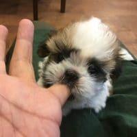 シーズーの子犬キター!