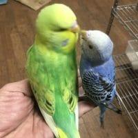 セキセイインコのヒナと桜文鳥のヒナ