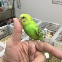 3月6日現在お店にいる手乗りの小鳥達!!