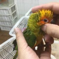 R3・7月19日現在の手乗りの小鳥(ヒナ)